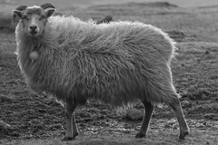 Seyur (Jan Smedemark) Tags: water islands sheep faroe fr suuroy tvroyri froba
