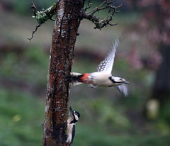 Was it something I said?  - Woodpeckers flirting  82/365 (rmrayner) Tags: tree spring woodpecker wildlife pair chase mating day82 courting wildbirds dendrocoposmajor catchmeifyoucan 365project 82365 greaterspottedwoodpeckers 365the2013edition