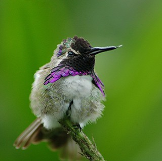 Costa's Hummingbird... purple ruff is glorious!