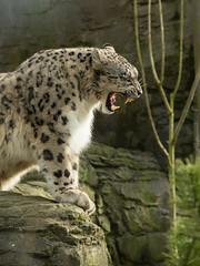Snow leopard (Uncia uncia) (steven whitehead) Tags: uk cats snow male canon photography eos zoo photo big eyes wildlife leopard marwell bigcats snowleopard leopards cheater bigzoo marwellzoo snowleopards 2013 felmale meecats indeer