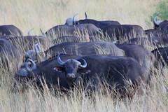 Pilanesberg National Park, South Africa. Mar/2013 (EBoechat) Tags: africa elephant south lion safari rhino lioness leão elefante leoa africadosul pilanesberg pilanesbergnationalpark mar2013