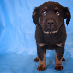 Ned the 8 Week Old Shepherd/Chow/Rottweiler Mix (Immature Animals) Tags: blue rescue baby black up animal animals puppy mix eyes looking adorable marshall foundation whiskers derek bark paws immature rottie petco petfinder koalition derekmarshall petcofoundation barktucson immatureanimals