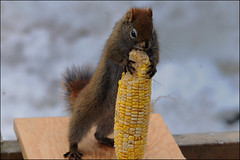 I Love Corn! (Zircon_215) Tags: winter cute corn backyard squirrel feeder hugs corny sweetcorn redsquirrel nikond300 cornlover cornhugger notanativespecies introducedin1963