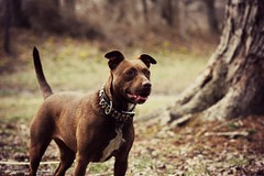 (the fragile.) Tags: dog mix cross bokeh chocolate rednose pitbull terrier american staffie staffordshirebullterrier abpt