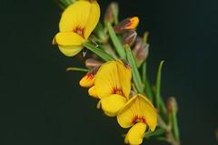 Aotus ericoides (andreas lambrianides) Tags: macro 350d australian fabaceae wildflower australiannativeplant australianflora aotusericoides