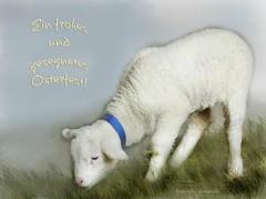 Happy Easter, all Flickrians! (rafischatz... www.rafischatz-photography.de) Tags: texture nature animal easter sheep pentax lamb easterlamb k200d lenabemanna