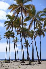 I (Matt Scott (formerly iraceonpedals)) Tags: ocean hawaii pacific palm palmtree bigisland nationalhistoricalpark puuhonua honaunau