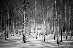 Birch fibers (Magnus Nicander) Tags: winter bw white snow black tree nature lines forest woods nikon sweden birch birchtree 18105 d7000