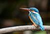 Common Kingfisher (chamindu) Tags: bird wildlife kingfisher srilanka a200 muthurajawela sonyalphadslra200