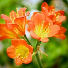 Kaffir Lily (zappy_lunch) Tags: orange flower macro nature austin square spring aperture nikon texas lily bokeh 85mm april zilker 1x1 d60 kaffir 2013 colorefexpro