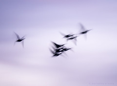 incoming! (marianna a.) Tags: snow canada motion blur flying geese spring quebec flock flight r migration returning mariannaarmata