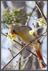 Female (Gary P Kurns Photography) Tags: female nikon cardinal d7000 martinnaturecenter sigma150500