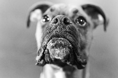 Close Up. (. Image) Tags: portrait dog 35mm puppy photography nikon boxer noses