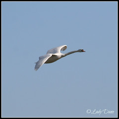 Flight  of The Swan... (Lady Dane (will never catch up)) Tags: england sun bird countryside spring swan trains cambridgeshire eastanglia supershot thebeautyofnature ladydane theoffords