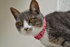 Cat day (Ale Berger) Tags: pet animal cat nikon gato bigode felino v1 gatinho adote