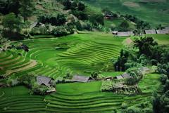 Viet Green Nam (Greg - AdventuresofaGoodMan.com) Tags: green nature rice vietnam agriculture ricefield ricepaddy sapa hmong riceterrace ricepatty xao