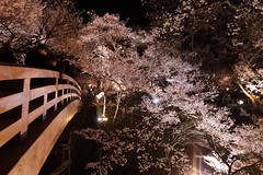 The cherry trees in full blossom (satoson) Tags: japan spring  cherryblossom  nagano     canon5dmarkii takatojoshipark
