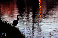 Sunset Bird (R Y A N Photo Studio) Tags: sunset england lake bird london nature landascape
