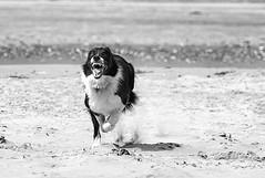 Scary doggy! (manxmaid2000) Tags: dog pet beach teeth canine run chase bordercollie snarl