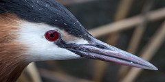 Great Crested Grebe, closeup (Bas Bloemsaat) Tags: portrait bird nature water up animal closeup drops close great planet crested animalplanet grebe greatcrestedgrebe