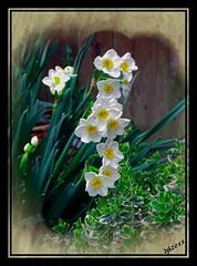 Paper white narcissus.4.19.13 (Debbie Hokkanen) Tags: simplyflowers beautiflower