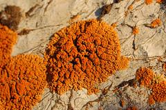 Elegant Sunburst Lichen macro (Tony Frates) Tags: orange utah limestone sunburst lichen elegant calcareous xanthoria mudcrack apothecia saltlakecounty xanthoriaelegans teloschistaceae taxonomy:binomial=xanthoriaelegans