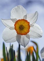 Daffodil... (Lady Haddon) Tags: daffodil 2013 apr2013