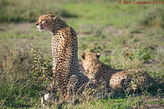 Cheetah  - Ngororngoro CA - Tanzania (bart coessens) Tags: africa cats animal animals cat tanzania mammal feline cheetah predator bigcats felis predators exoticcat africanwildlife ndutu ngorongoroconservationarea flickrbigcats roysafaris ndutuarea