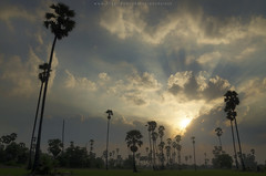 Cloudy day at sugar palm field (Pond Pisut) Tags: cloud tree nature field landscape golden day ray natural cloudy palm sugar rays godrays naturelover cloudyday naturescape d7000 landscapelover