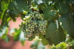 Wine Grapes (EvanJawnson) Tags: wine winery vineyard vines vino wino grower growing vitaculture tasting nikon nikonusa nikond7100 d7100 50mm niftyfifty nikkor arizona sonoita winecountry az sundayfunday fieldtrip grapes grape
