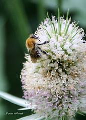 1-IMG_3494 (hemingwayfoto) Tags: berggarten blhen blte bltenstand blume dipsacussativus distel garten insekt karde kardendistel natur park pflanze samenstand weberkarde wild zierpflanze