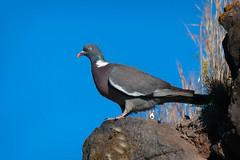 Elusive (Luis-Gaspar) Tags: bird portugal animal nikon iso400 pigeon pombo ave oeiras f56 passaro 13200 d60 woodpigeon columbapalumbus commonwoodpigeon pacodearcos pombotorcaz 55300