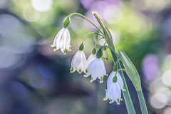 Sunrise snowdrops (jan_clewett) Tags: snowdrops beautiful sunrise soft