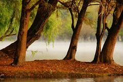 RIVE GAUCHE. (NIKONIANO) Tags: arboles arbre camecuro comala laniebla mexico michoacan mist nikonflickraward nouage nube sabino sabinos sergioalfaroromero surreal tree