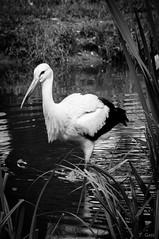 Storch (ThiloG) Tags: bw storch wasser zoo zoorheine nikond5000 nikoncorporation