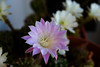 ER 160901 (1) (Paolo Bonassin) Tags: flowers cactaceae cactacee cactus succulente echinopsis