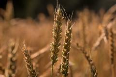 harvest time (Bea Antoni) Tags: tamronsp90mmf28divcusdmacro11 canoneos7dmarkii gold sonnenlicht sonne sunlight tamron canon nahaufnahme closeup licht light erntezeit harvesttime ernte harvest