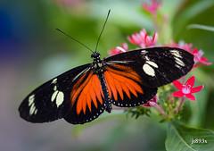 Doris Longwing (jt893x) Tags: 105mm afsvrmicronikkor105mmf28gifed butterfly d810 dorislongwing heliconiusdoris insect jt893x longwing macro nikon specanimal
