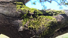 WP_20160812_12_19_21_Rich_LI (Douglas Bizarro) Tags: lumia930 lumia microsoft nokia zeiss carlzeiss phone windowsphone garden jardin tree moss goiabeira rvore musgo natureza nature