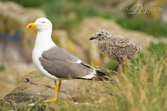 Scotland-Northumberland holiday 2016-75 (Sharon Watson Photo) Tags: northumberland farne islands wildlife gull chick kittiwake