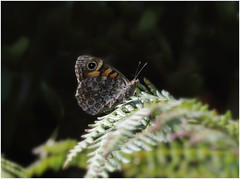 Wall Brown (jenny*jones) Tags: wallbrown lassiommatamegera nymphalidae brushfootedbutterfly aug2016 westyorkshire gtbritain naturephotography naturalworld canon woodland ferns canon7dmkii canon100mm28