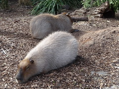 Adelaide Zoo. The world's largest rodent. The Capybara from eastern South America  Brazil, Uraguay Paraguay etc. (denisbin) Tags: adelaide zoo adelaidezoo capybara rodent southamerica