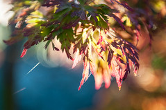 morning burst (observed.by.diane) Tags: autumn japanesemaple morninglight leaves bokeh