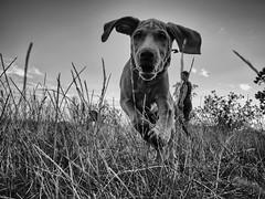 Oh, Johnny ! (Dan-Schneider) Tags: dog blackandwhite bw hund schwarzweiss olympus omdem10 moment monochrome animal streetphotography einfarbig mood mft