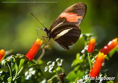 Borboletrio (Stefan Lambauer) Tags: fozdoigua borboleta mariposa buterfly borboletrio parquedasaves birds tourism turismo parquenacionaldoigua stefanlambauer 2016 brasil brazil paran br macro