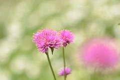 "gomphrena ""fireworks"" (snowshoe hare*) Tags:   gomphrena flowers botanicalgarden  dsc0244 fireworks"