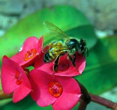 Abeja_02 (jagar41_ Juan Antonio) Tags: flores flor flora abejas abeja insecto insectos coronadecristo