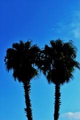 PALMERAS (ErickLlanosR) Tags: palmeras valencia marinador contraluz sky bluesky palms