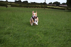 Bonnie Hop (E Music) Tags: dogs django bonnie thurgoland england greenery plants grass jump hop