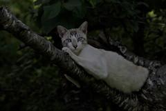 Reposo (Ru GarFer) Tags: extremadura badajoz llerena campiña sur rivera ribera molinos gato feliscatus blanco rayado ojos azul árbol rama mirada mamífero felino